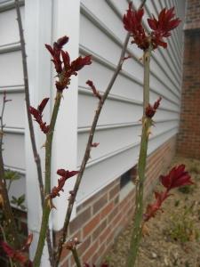 Rose growth