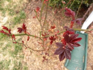 Rose growth2